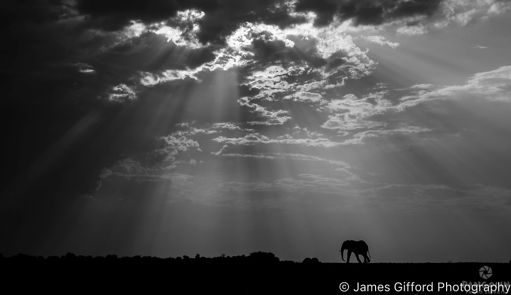 I had spent several hours photographing elephants crossing Botswana's Chobe river to feed on some of the islands' lush grasses one afternoon when a storm rapidly moved in. The elephants were keen to return to the mainland but instead of photographing them in the water, I realised the shafts of light piercing through the clouds would create a magical landscape. Fortunately in front of the large herds was a lone bull giving me the opportunity to create a poignant image that is appropriate for one of Africa's most persecuted animals.