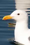 Herring Gull - closeup.(Larus argentatus).Back Bay Reserve, Californiia
