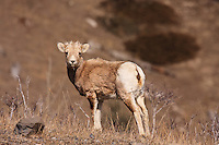 Rocky Mountain Bighorn Sheep near Exshaw, Alberta..©2009, Sean Phillips.http://www.Sean-Phillips.com