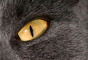 Close up abstract of the bright yellow almond-shaped eye of a dark grey domestic cat at a house in Cheshire