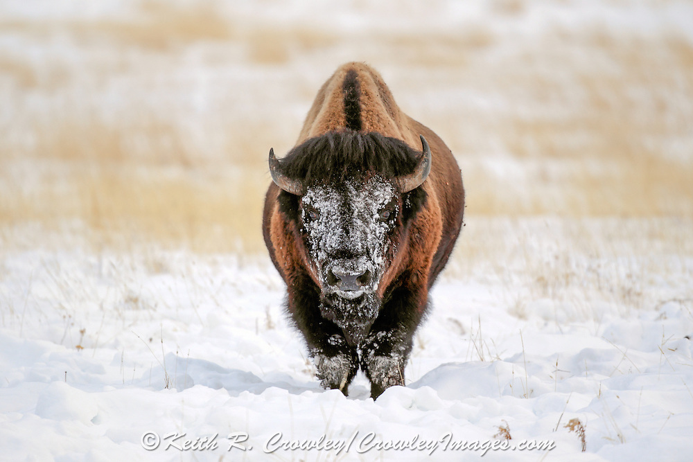 Snow covered American Bison (Buffalo) in winter habitat