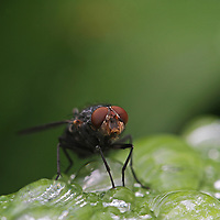 Macro photography image of a house fly balancing water droplets. This close up photo of a housefly is available as museum quality photography prints, canvas prints, acrylic prints, wood prints or metal prints. Prints may be framed and matted to the individual liking and decorating needs:<br /> <br /> http://juergen-roth.pixels.com/featured/house-fly-juergen-roth.html<br /> <br /> All macro insect photography images are available for digital photo image licensing at www.RothGalleries.com. Please contact me direct with any questions or request.<br /> <br /> Good light and happy photo making!<br /> <br /> My best,<br /> <br /> Juergen<br /> Web: http://www.RothGalleries.com <br /> Photo Blog: http://whereintheworldisjuergen.blogspot.com<br /> Twitter: https://twitter.com/naturefineart<br /> Facebook: https://www.facebook.com/naturefineart <br /> Instagram: https://www.instagram.com/rothgalleries