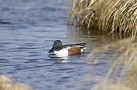 Northern Shoveler (Anas clypeata) swimming in slough, adjacent to Route 22x near Calgary, Alberta, Canada