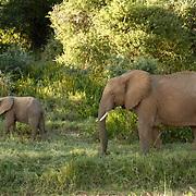 African Elephant ( Loxodanta africana) Mother with young. Samburu Game Reserve. Kenya. Africa.