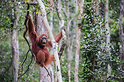 An orangutan (Pongo pymaeus) in the landscape hanging from a tree limb and vocalizing, Tanjung Puting National Park, Central Kalimantan, Borneo, Indonesia
