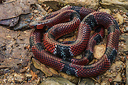 False Coral Snake (Erythrolamprus mimus micrurus)<br /> Mashpi Rainforest Biodiversity Reserve<br /> Pichincha<br /> Ecuador<br /> South America