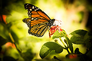 Monarchs face numerous obstacles on their arduous journey. Some perish in weather extremes, from habitat loss, pesticide use on host and nectar plants, predators ... and climate change. This monarch is a bit tattered, but is still able to fly.