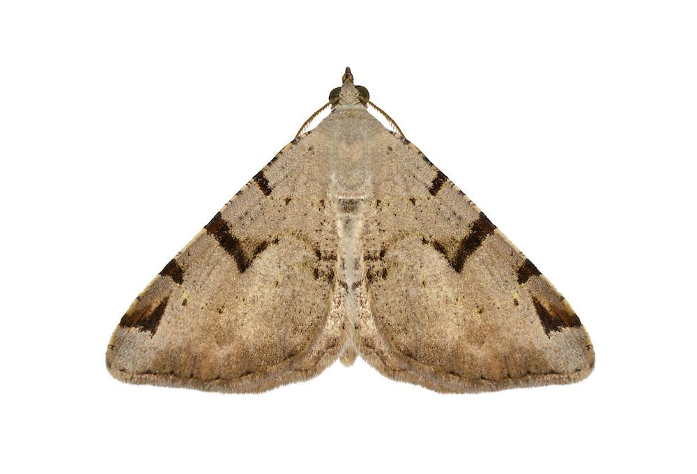70.215 (1897)<br /> V-moth - Macaria wauaria