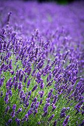 Lavandula angustifolia 'Elizabeth' syn. Fair 16' - Lavender