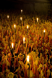 Forced Rhubarb 'Timperley Early'lit by candelight in the forcing shed at Oldroyds, Yorkshire. Rheum rhubarbarum