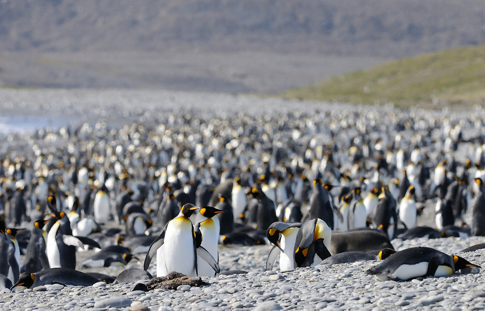 King penguins  (Aptenodytes patagonicus) crowd together at their breeding colony on Salisbury Plain. Salisbury Plain, South Georgia. 19Feb16
