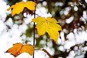 Nederland, Ubbergen, 12-11-2018Bald en blaadjes in de herfst. Foto: Flip Franssen