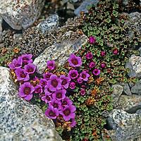 BAFFIN ISLAND, Nunavut, Canada. Purple (Arctic) Saxifrage (Saxifragaceae oppositifolia), one of northernmost flowers, growing in Stewart Valley.