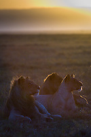 A profile of three young lions at dawn in the Masai Mara National Park, Kenya