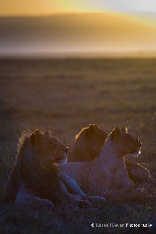 A profile of three young lions at dawn in the Masai Mara National Park, Kenya