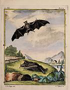 Vampire in flight Actualy a Bat from a zoology study of animals 'Dierkundige beschouwingen, eeniger soorten van zeldzame dieren, door naauwkeurige beschryvingen, afbeeldingen en verhandelingen opgeheldert' by Pallas, Peter Simon, Printed in Rotterdam in 1770