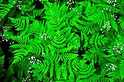 Ferns in Glacier National Park