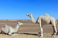 Two white dromedaries (camel) in the Sahara desert, Merzouga, Morocco.