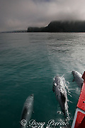Hector's dolphin, Cephalorhynchus hectori, bow-riding, Endangered Species, endemic to New Zealand, Akaroa, Banks Peninsula, South Island, New Zealand ( South Pacific Ocean )