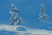 Saplings covered in snow, Kootenay National Park, British Columbia, Canada