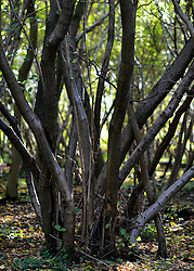 © Licensed to London News Pictures. 07/11/2012. LAWSHALL, UK Trees at an infected site in East Anglia today, 7th November 2012. UK ash trees are threatened by the spread of Chalara disease, more commonly known as Ash Dieback. Photo credit : Stephen Simpson/LNP