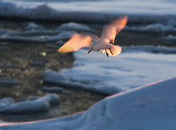 Glowing Ivory Gull (Pagophila eburnea) in the drifting ice at 82 degree North in Svalbard, Norway