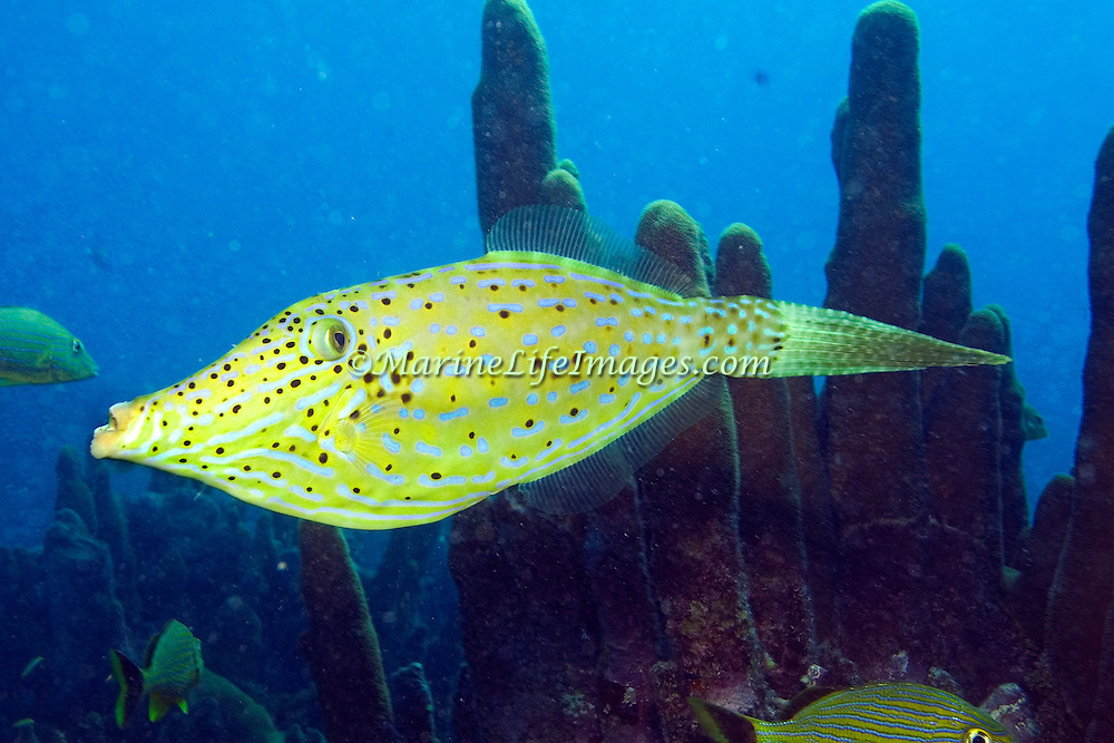 Scrawled Filefish drift over reefs and rocky bottoms with abundant gorgonian growths in Tropical West Atlantic and cirumtropical; picture taken Grand Cayman.