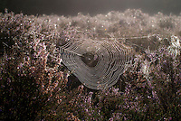 WK20100905-008.NEF.Natuur,Tafelbergheide,spinnenweb