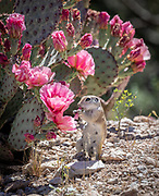 Round-tailed ground squirrel enjoying prickly pear blossom, Tucson.