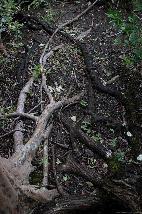 a native(Koa) and an invasive(guava) intertwined at the roots, an example of Racial co-existence on the Bowman Trail, Oahu