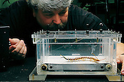 Hunched over a treadmill designed for arthropods, biologist Robert Full tests an Arizona centipede in his laboratory at UC Berkeley (California). Even though the centipede has forty legs, it runs much like an ordinary six-legged insect. Just as insects move on two alternating sets of three legs (two on one side, one on the other), the centipede gathers its legs into three alternating groups, with the tips of the feet in each group bunched together. From the book Robo sapiens: Evolution of a New Species, page 94 top.