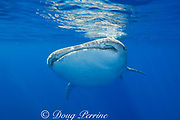 whale shark ( Rhincodon typus ), Kona Coast of Hawaii Island ( the Big Island ), Hawaiian Islands, USA ( Central Pacific Ocean )