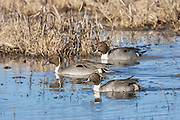 Pintail drakes swimming in marsh in New Mexico