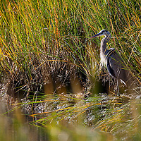 Great Blue Heron along a marsh shoreline at Horseshoe Cove at Sandy Hook.