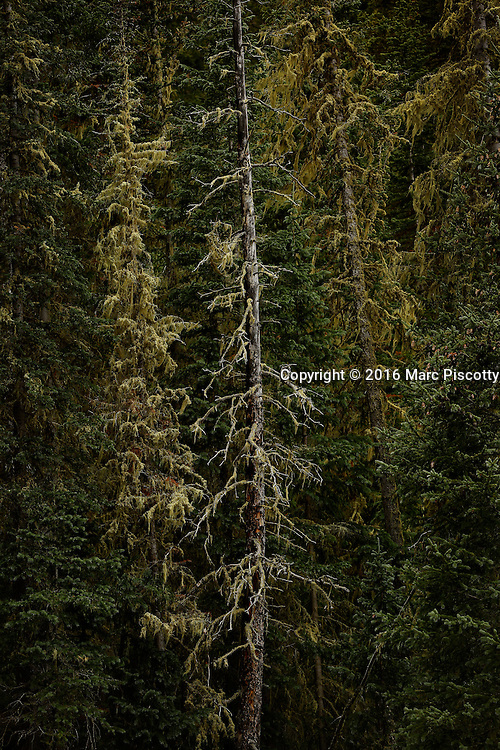 SHOT 9/28/16 3:06:07 PM - Lodgepole pine trees grow near Beaver Lake in Beaver Creek, Co. Pinus contorta, with the common names lodgepole pine and shore pine, and also known as twisted pine, and contorta pine, is a common tree in western North America. It is common near the ocean shore and in dry montane forests to the subalpine. Like all pines (member species of the genus Pinus), it is an evergreen conifer. (Photo by Marc Piscotty / © 2016)