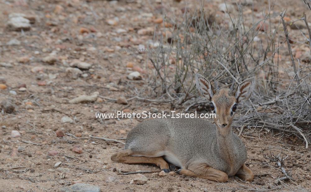Kenya, Samburu National Reserve, Kenya, Gunther's long snouted Dik-dik (Mandoqua guntheri) the smallest antelope