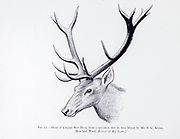 Head of a Caspian red deer (Cervus elaphus maral), from the book ' The deer of all lands : a history of the family Cervidae, living and extinct ' by Richard Lydekker, Published in London by Ward 1898