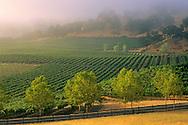 Morning fog over vineyards at sunrise, near Hopland, Mendocino County, California