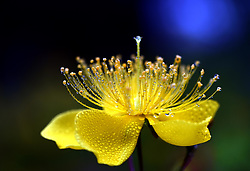 May 26, 2019 - Huai'An, Huai'an, China - Huai'an, CHINA-Close-up shots of  Hypericum chinense L. flowers after rain in Huai'an, east China's Jiangsu Province. (Credit Image: © SIPA Asia via ZUMA Wire)