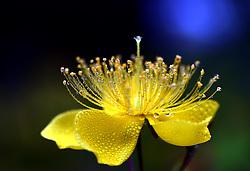 May 26, 2019 - Huai'An, Huai'an, China - Huai'an, CHINA-Close-up shots of Hypericum chinense L. flowers after rain in Huai'an, east China's Jiangsu Province. (Credit Image: © SIPA Asia via ZUMA Wire)