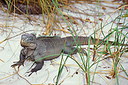 endemic West Indian rock iguana, Cyclura carinata, <br /> Little Water Cay, Turks and Caicos Islands<br /> ( Western Atlantic Ocean )