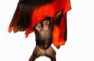Deutschland, DEU, Krefeld, 2004: Projekt ueber die biologischen Wurzeln der Mode. Die Shootings hierfuer wurden mit Grossen Menschenaffen, die dem Menschen am naechsten sind, im Krefelder Zoo gemacht. Die Tiere waren weder zahm noch trainiert. Die Kleidungsstuecke wurden in die Gehege geworfen und was immer die Tiere damit anstellten, taten sie aus sich selbst heraus. Ein Eingreifen oder gar eine Regie war unmoeglich. Da das Verhalten der Affen im Mittelpunkt stand, wurden die Hintergruende von den Originalfotografien entfernt. Junges Schimpansen-Maennchen Manni mit einem Tuch von Marina Rinaldi. | Germany, DEU, Krefeld, 2004: Project to look at the basics and roots of fashion. The shootings took place in the Zoo Krefeld with three species of Great Apes who are the nearest to us. The animals were neither tamed nor trained. Whatever the animals did, they did on their own. Any intervention or directing was impossible. To set the focus on the behaviour of the animals itself we removed the background from the original photographs. Chimpanzee (Pan troglodytes), young male Manni with scarf from Marina Rinaldi. |