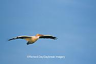 00671-00612 American White Pelican (Pelecanus erythrorhynchos) in flight Port Aransas Birding Center   TX
