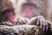 A close up of two snow monkey hands,(Macaca fuscata) , Jigokudani, Yamanouchi, Japan