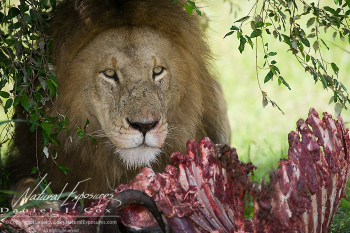 African Lion (Panthera leo) large male feeding on kill, Masai Mara Game Reserve. Kenya, Africa