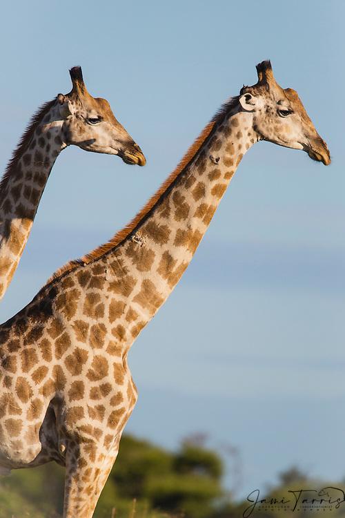 A pair of southern giraffe (giraffa camelopardalis) looking together in the same direction, Kalahari, Botswana, Africa