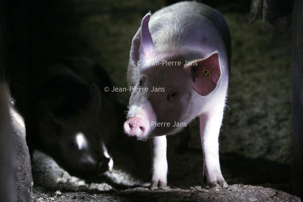 Nederland,Eerbeek ,25 januari 2008..Een big van een biologische boerderij. A piglet of a organic farm.