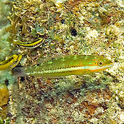 Blackear Wrasse inhabit sea grass beds and shallow reefs in Tropical West Atlantic; picture taken Roatan, Honduras.