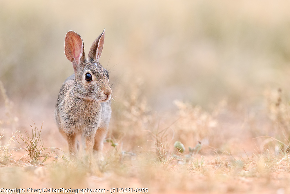 Desert cottontail in the grass of South Texas