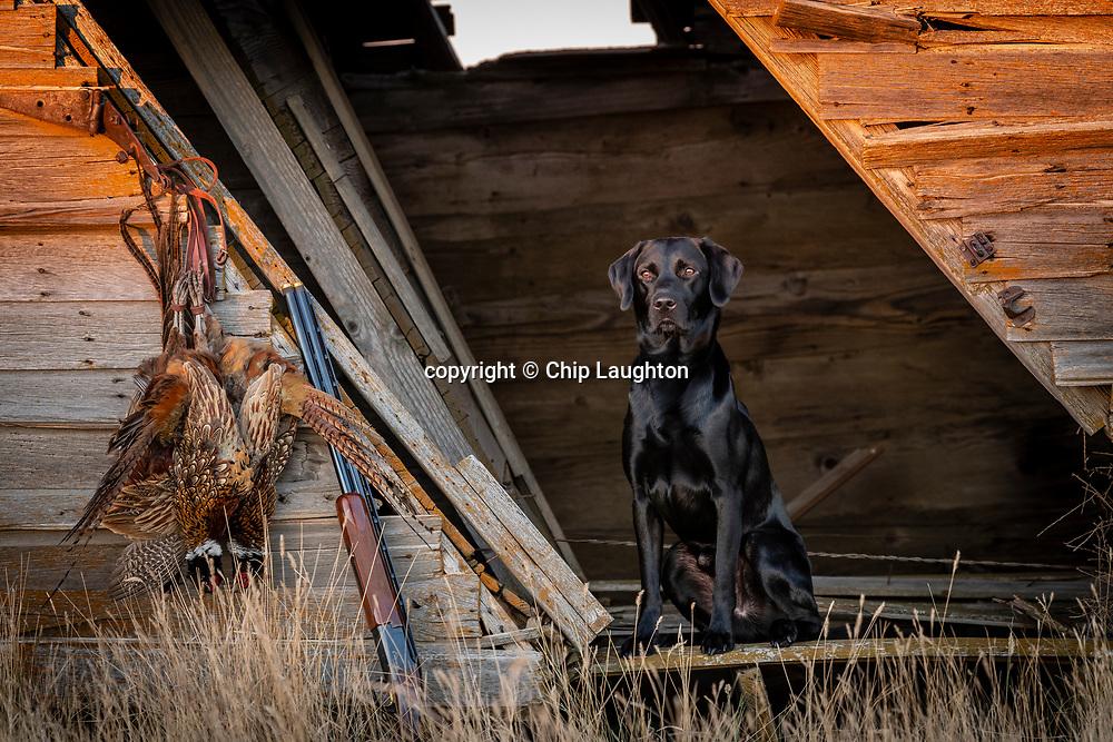 labrador, retriever, stock, photo, image, photography
